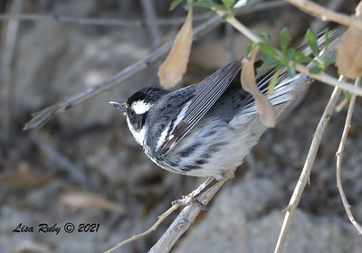 Black-throated Gray Warbler  - mid-April 2021 - Agua Caliente County Park