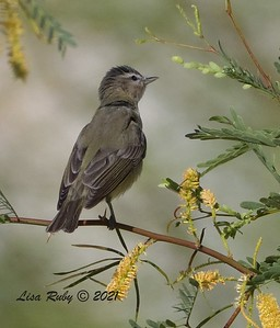 Warbling Vireo  - mid-April 2021 - Agua Caliente County Park
