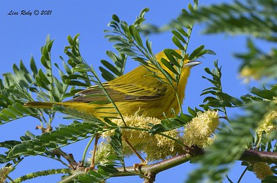 Yellow Warbler  - mid-April 2021 - Agua Caliente County Park