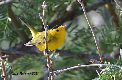 Wilson's Warbler  - mid-April 2021 - Agua Caliente County Park