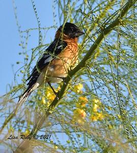 Black-headed Grosbeak  - mid-April 2021 - Agua Caliente County Park