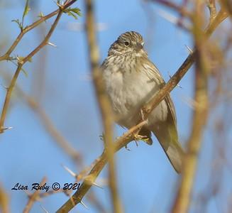 Vesper Sparrow  - 3/27/2020 - Borrego Springs , Settling Ponds