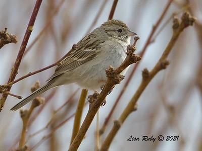 Brewer's Sparrow  - 3/27/2020 - Borrego Springs , Settling Ponds