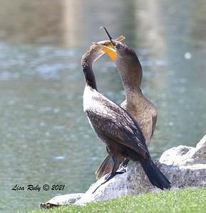 Double-crested Cormorants  - 3/27/2020 - Borrego Springs , Roadrunner Club
