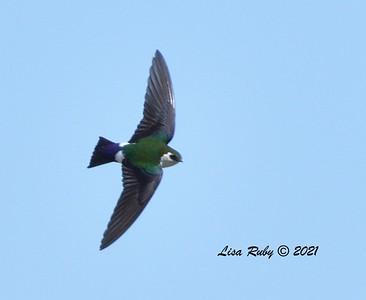 Violet-green Swallow  - 3/27/2020 - Borrego Springs , Roadrunner Club