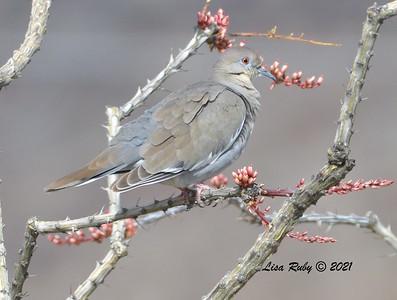 White-winged Dove  - 3/27/2020 - Borrego Springs , Northwest Neighborhood