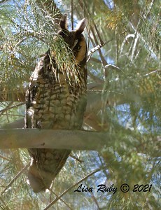 Long-eared Owl  - 3/27/2020 - Borrego Springs , Tamarisk Grove Campground
