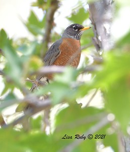 American Robin  - 4/5/2021 - Old Poway Park
