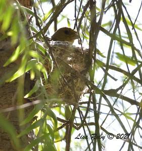 Lesser Goldfinch Nest  - 4/5/2021 - Budwin Lane Trail, Poway