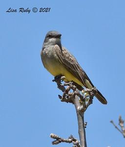 Cassin's Kingbird  - 4/5/2021 - Old Poway Park