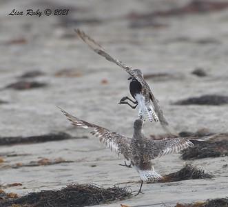 Black-bellied Plovers - 8/15/2021 - Camp Surf, Imperial Beach