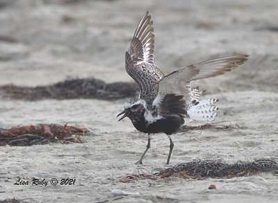 Black-bellied Plover - 8/15/2021 - Camp Surf, Imperial Beach