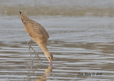 Marbled Godwit - 8/15/2021 - Camp Surf, Imperial Beach