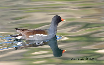 Common Gallinule  - 01/02/2021 - Dixon Lake