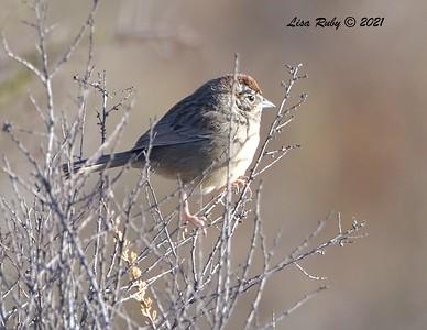 Rufous-crowned Sparrow  - 01/02/2021 - Dixon Lake