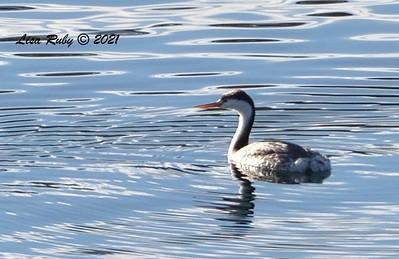 Clark's Grebe  - 01/02/2021 - Dixon Lake