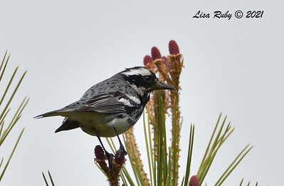 Black-throated Gray Warbler  - 3/7/2021 - Vacation Isle