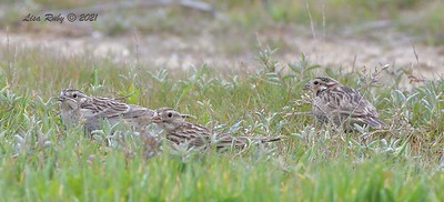 2 Chestnut-collared Longspur, Thick-billed Longspur  -  3/7/2021 - Fiesta Island