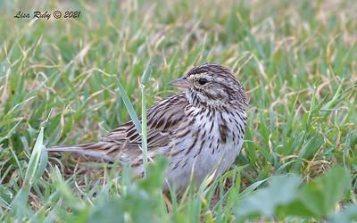 Savannah Sparrow  -  3/7/2021 - Fiesta Island