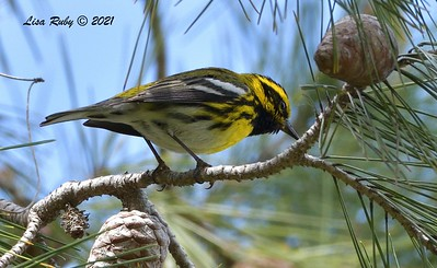 Townsend's Warbler  - 3/7/2021 - Vacation Isle