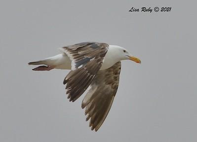 Western Gull  - 6/20/2021 - Imperial Beach