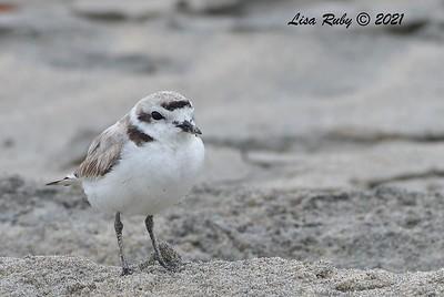 Snowy Plover  - 6/20/2021 - Imperial Beach