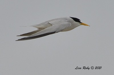 Least Tern  - 6/20/2021 - Imperial Beach