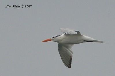 Royal Tern  - 6/20/2021 - Imperial Beach