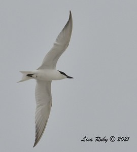 Gull-billed Tern  - 6/20/2021 - Imperial Beach