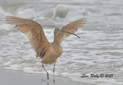 Long-billed Curlew  - 6/20/2021 - Imperial Beach