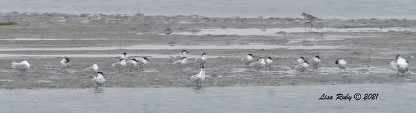 Gull-billed Terns  - 6/20/2021 - Imperial Beach
