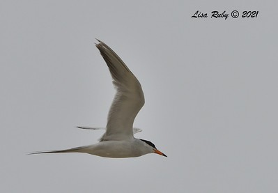 Forster's Tern  - 6/20/2021 - Imperial Beach