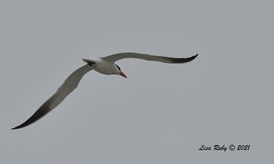 Tern, likely Caspian  - 6/20/2021 - Imperial Beach