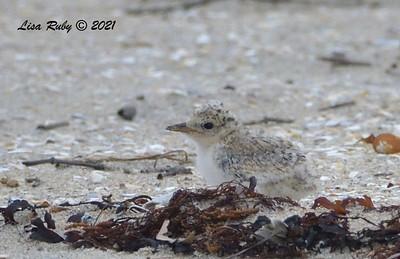 Least Tern Chick - 6/20/2021 - Imperial Beach