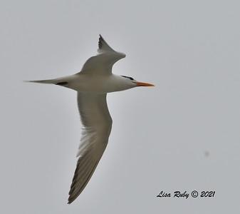 Tern (Royal or Elegant)  - 6/20/2021 - Imperial Beach