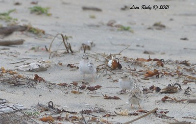 Least Tern  Chicks - 6/20/2021 - Imperial Beach
