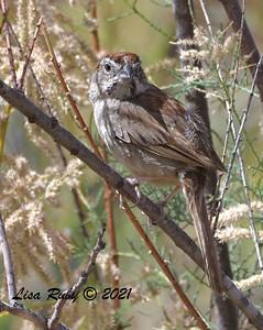 Rufous-crowned Sparrow  - 6/9/2021 - Lake Hodges Bernardo Bay Trails
