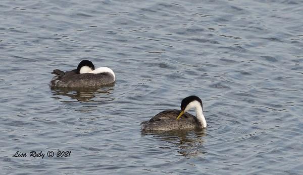Western Grebes  - 6/9/2021 - Lake Hodges Bernardo Bay Trails
