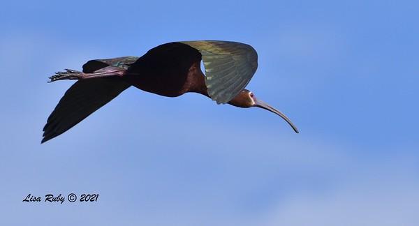 White-faced Ibis  - 6/9/2021 - Lake Hodges Bernardo Bay Trails