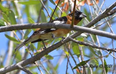 Black-headed Grosbeak  - 6/9/2021 - Lake Hodges Bernardo Bay Trails