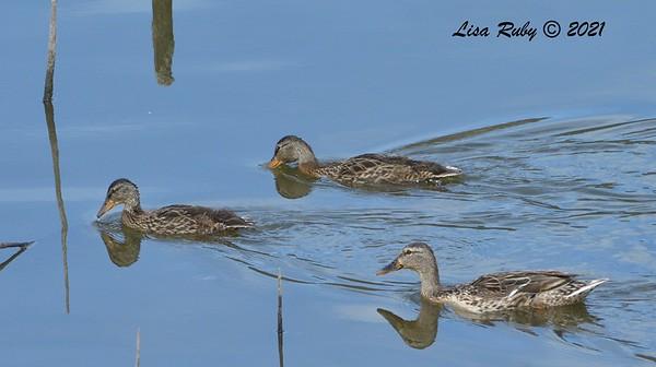 Mallard mom and 2 juveniles  - 6/9/2021 - Lake Hodges Bernardo Bay Trails