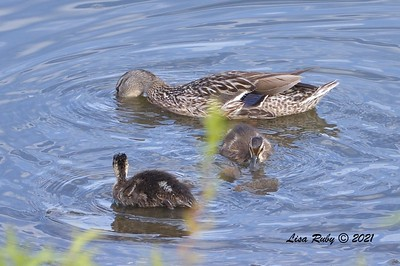 Mallard mom and two juveniles  - 6/9/2021 - Lake Hodges Bernardo Bay Trails