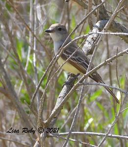 Ash-throated Flycatcher  - 6/9/2021 - Lake Hodges Bernardo Bay Trails