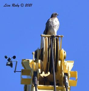Red-tailed Hawk - 01/08/2021 - Lake Miramar