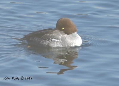 Female Common Goldeneye -  01/08/2021 - Lake Miramar