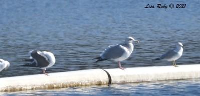 Herring Gull - 01/08/2021 - Lake Miramar