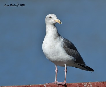 Western Gull -  01/08/2021 - Lake Miramar