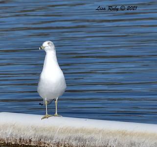Ring-billed Gull - 01/08/2021 - Lake Miramar