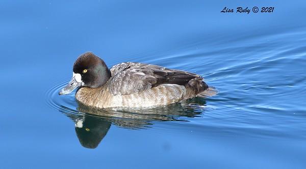 Female Lesser Scaup - 01/08/2021 - Lake Miramar