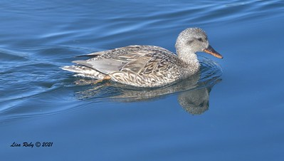 Female Gadwall  - 01/08/2021 - Lake Miramar